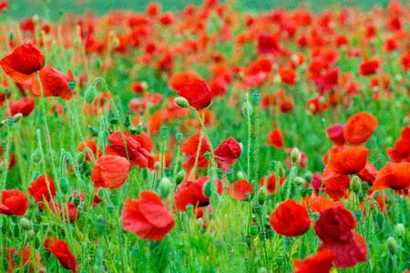 medow: Poppy flowers in a green medow