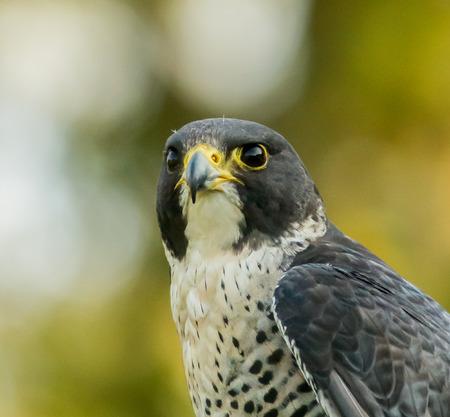 peregrine: Peregrine falcon