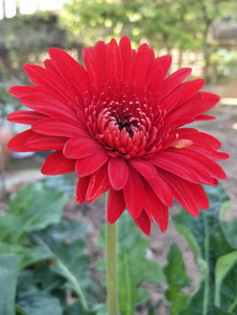 Red Gerbera means fall in love without knowing it.