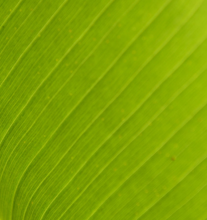 abstract leaf: banana leaf background Stock Photo