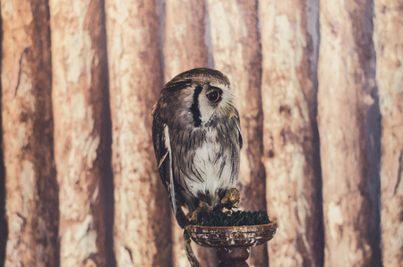 nocturnal: Brown-faced Owl