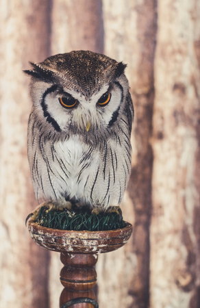 nocturnal: White-faced Owl
