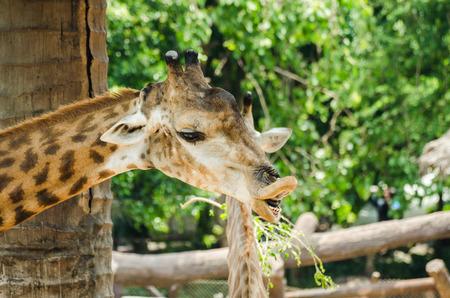 giraffe portrait, in the zoo