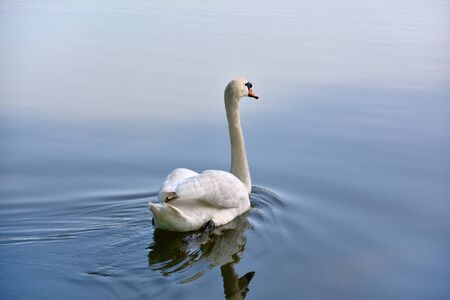 Swan on a calm pond
