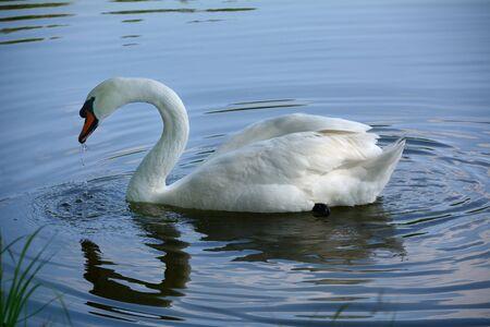 Swan on a calm pond
