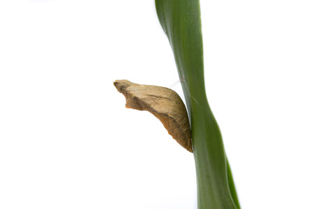pupa: Pupa hang on the leaf