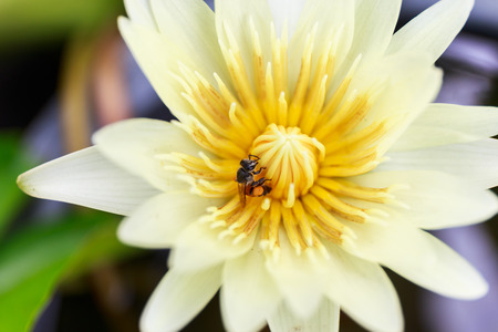 find out: Bee find out sweety in lotus flower Stock Photo