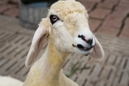 paddock: Sheep living in the paddock Stock Photo