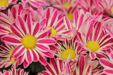 Chrysanthemum. photo