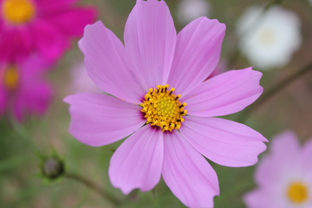 Cosmos flower. photo