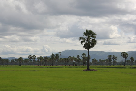 rice fields and Sugar palm. photo