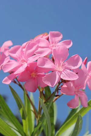 Flowers oleanders. photo