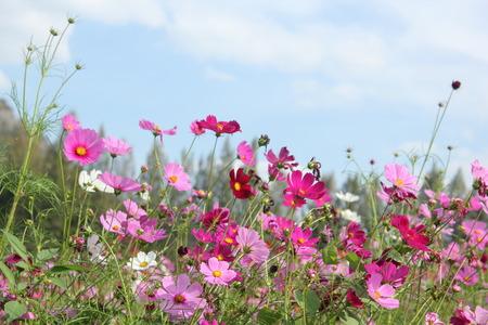 Cosmos flower fields. photo