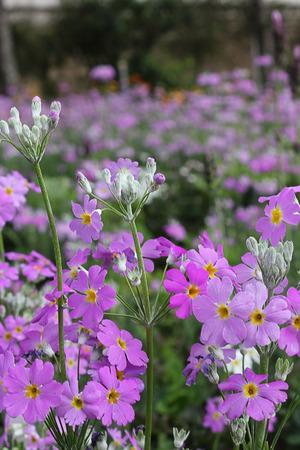 Cosmos flower. photo