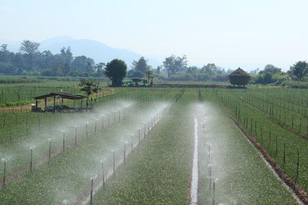 Watering garlic farm photo