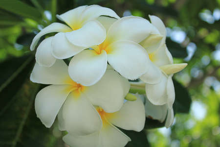 White  plumeria flower photo