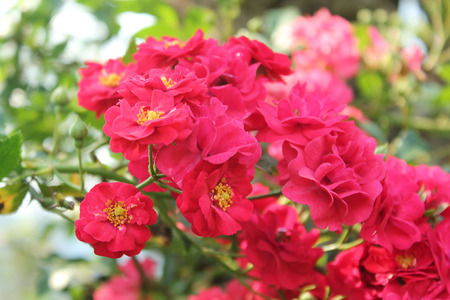thorn bush: red rose on tree beautiful botany in a garden. Stock Photo