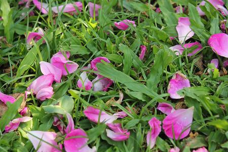 pink rose petals: Pink rose petals on the grass