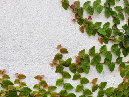 white: Ivy on white wall