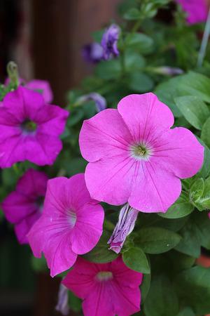 petunias: Colorful petunias close-up