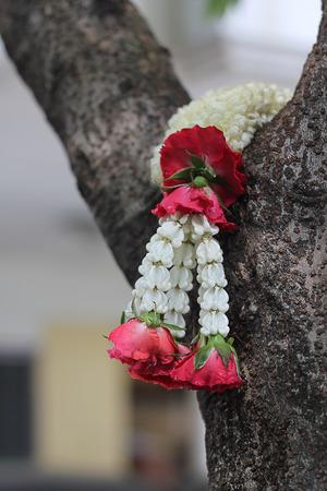 tree jasmine: Jasmine garland on the tree
