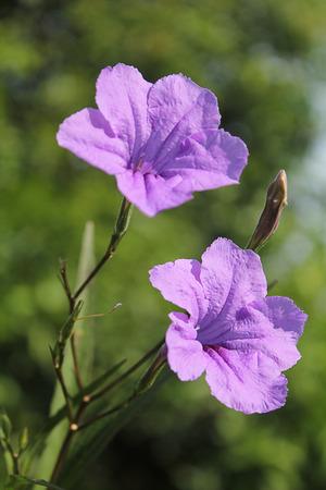 ting: Toi Ting flower Stock Photo