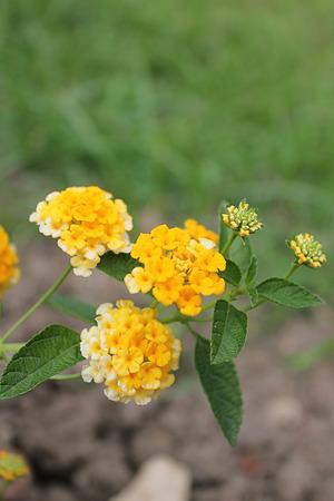 lantana camara: Lantana camara Verbenaceae in the garden
