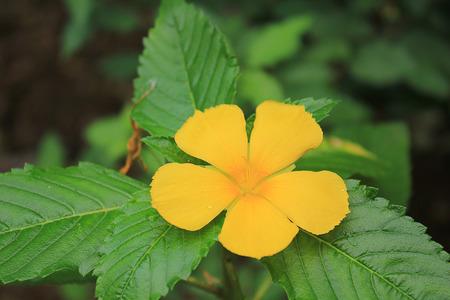 turnera: TURNERACEAE Yellow flower Stock Photo