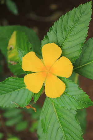 turnera: TURNERACEAE,Yellow flower