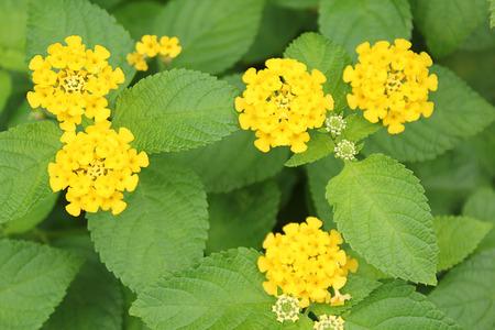 lantana: Lantana camara Verbenaceae in the garden