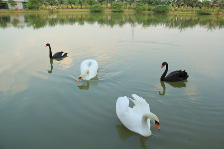 swimming bird: Black and White Swans are swimming on the lake