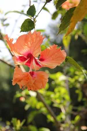 Orange double hibiscus flower