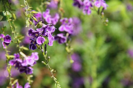 repens: Duranta repens flower,selective focus