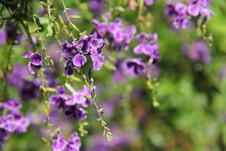 repens: Duranta repens flower