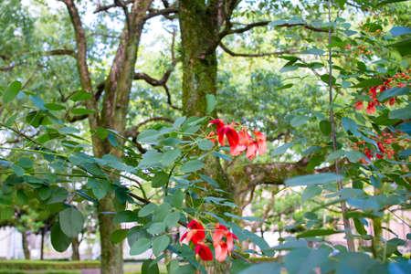 Kaikozu blooming in a Japanese park (Deigo, U.S.A.)