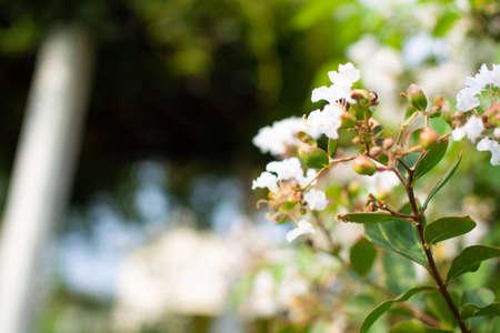 Beautiful white flowers blooming in a park in Gifu City, Gifu Prefecture