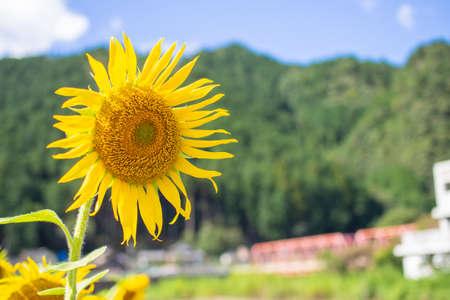 Sunflower field, sunflower summer image, September, bee, Mino City, Gifu Prefecture, Suhara Sunflower Village Stock Photo