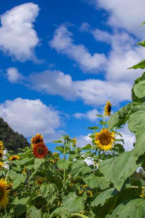 Sunflower field, sunflower summer image, September, bee, Mino City, Gifu Prefecture, Suhara Sunflower Village