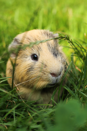 Guinea pig in grass Stock Photo