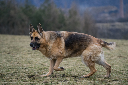 Old German Shepherd lady at a park