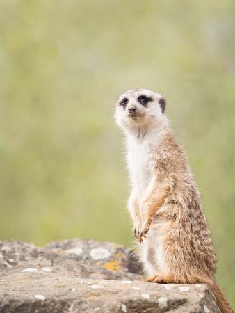 Meerkat, suricate sitting on a rock Stock Photo