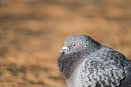 beak pigeon: Head shot of pidgeon in a park