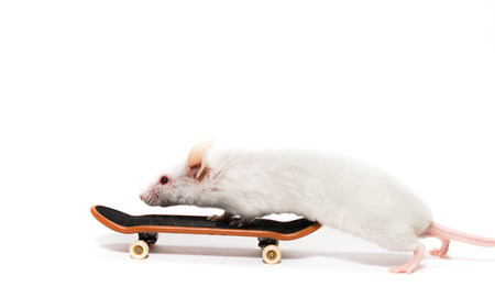White laboratory mouse at skateboard, white background