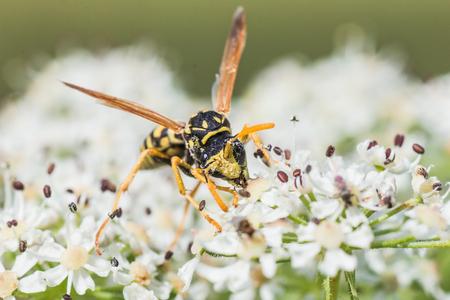 シダクロスズメバチ尋常性、ワスプ、ドクニンジンの