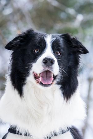 Border collie portrait, winter