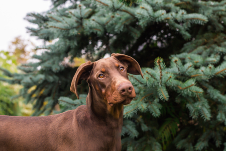 Brown young doberman with normal ears
