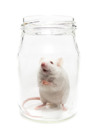 White laboratory mouse in a glass jar