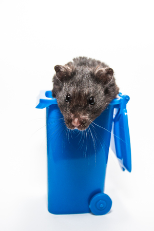 Black syrian hamster, blue recycling container