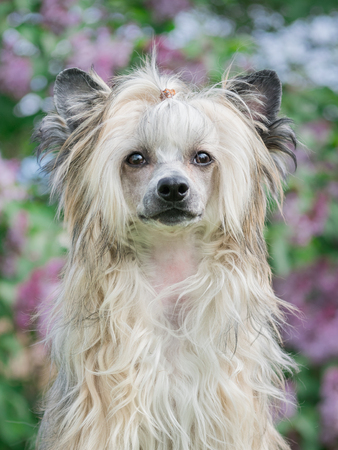 Young puppy chinese crested dog, powderpuff portrait, purple blurred background