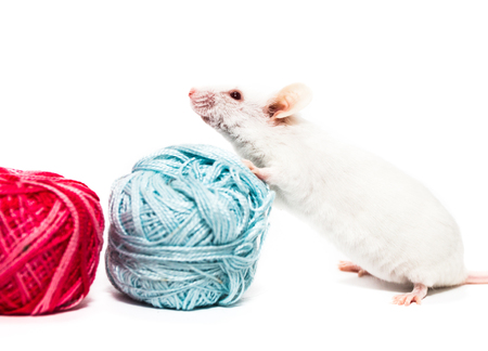 White laboratory mouse, blue and red thread